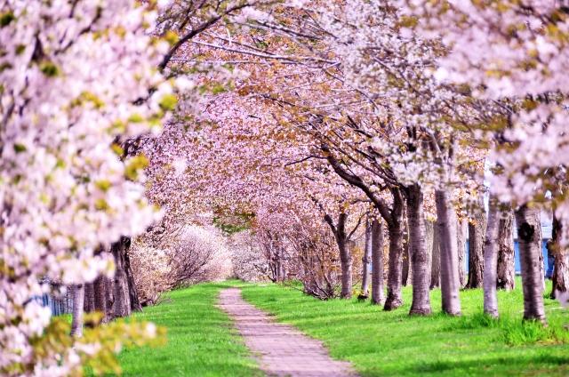 桜に染まるまち、佐倉イメージ画像